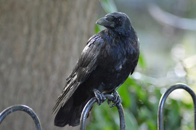 Black Bird on Property