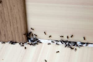 Ants Around Baseboards and Wall Angle